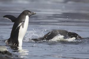 Adelie Penguins, Pygoscelis Adeliae, Entering the Surf at Devil Island by Kent Kobersteen