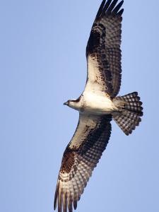 An Adult Osprey, Pandion Haliaetus, in Flight by Kent Kobersteen
