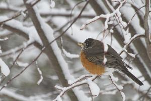 An American Robin, Turdus Migratorius, in a Tree During a Snowstorm by Kent Kobersteen