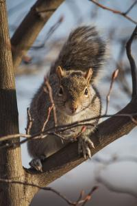 An Eastern Gray Squirrel, Sciurus Carolinensis, Sitting on a Tree Branch by Kent Kobersteen