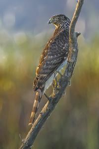 An Immature Cooper's Hawk, Accipiter Cooperii, Perches on a Branch at Sunset by Kent Kobersteen