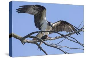 An Osprey, Pandion Haliaetus, Perching in a Treetop with a Fresh-Caught Fish by Kent Kobersteen