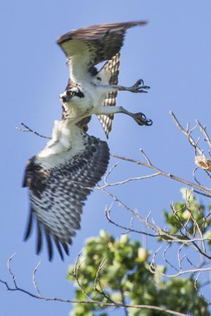 An Osprey, Pandion Haliaetus, Takes Flight from a Tree Branch