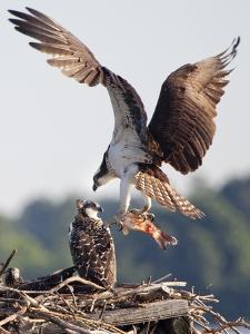 An Osprey, Pandion Haliaetus, with a Fish in Talons Lands in its Nest by Kent Kobersteen