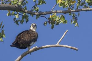 An Osprey Perches on a Tree Branch Along the Occoquan River in Northern Virginia by Kent Kobersteen