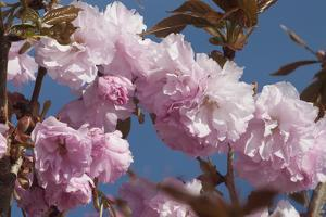 Close Up of Fluffy Pink Cherry Blossoms on a Tree in the Spring Along the Occoquan River by Kent Kobersteen