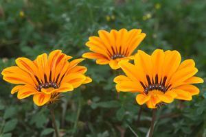 Close Up of Treasure Flowers, Bazania Rigens, Growing Wild by Kent Kobersteen