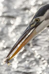 Close Up Portrait of a Great Blue Heron, Ardea Herodias, with a Small Fish in its Bill by Kent Kobersteen