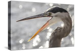 Close Up Portrait of a Great Blue Heron, Ardea Herodias, with its Beak Open by Kent Kobersteen