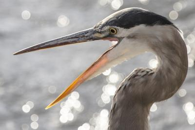 Close Up Portrait of a Great Blue Heron, Ardea Herodias, with its Beak Open