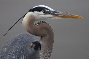Close Up Portrait of a Great Blue Heron, Ardea Herodias by Kent Kobersteen