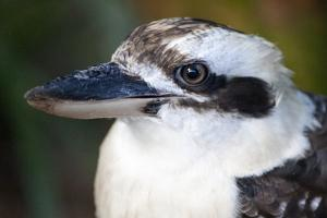 Close Up Portrait of a Laughing Kookaburra, Dacelo Novaeguineae by Kent Kobersteen