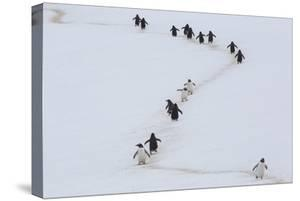 Gentoo Penguins Walk a Penguin Highway from Rookery to Sea, and Back, to Avoid Sinking into Snow by Kent Kobersteen