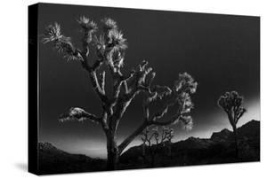 Joshua Trees, Yucca Brevifolia, at Sunrise in Joshua Tree National Park, California by Kent Kobersteen