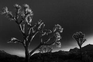 Joshua Trees, Yucca Brevifolia, at Sunrise in Joshua Tree National Park, California by Kent Kobersteen
