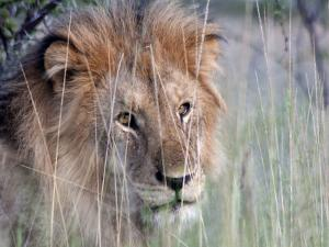 Male African Lion, Panthera Leo, in Tall Grasses by Kent Kobersteen
