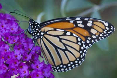 Portrait of a Female Monarch Butterfly, Danaus Plexippus, Sipping Nectar from a Flower
