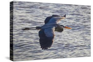Portrait of a Great Blue Heron, Ardea Herodias, in Flight over the Occoquan River by Kent Kobersteen