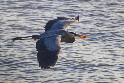 Portrait of a Great Blue Heron, Ardea Herodias, in Flight over the Occoquan River