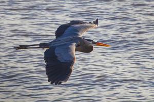 Portrait of a Great Blue Heron, Ardea Herodias, in Flight over the Occoquan River by Kent Kobersteen