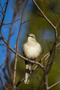Portrait of a Northern Mockingbird, Mimus Polyglottos, Perched in a Tree Top by Kent Kobersteen