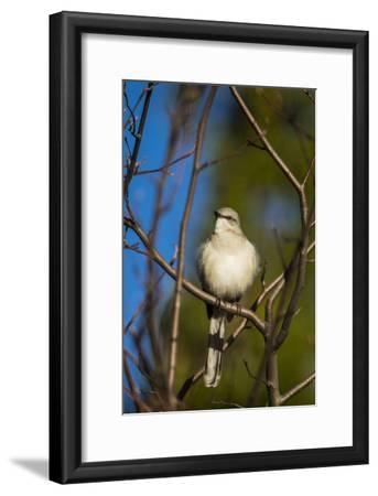 Portrait of a Northern Mockingbird, Mimus Polyglottos, Perched in a Tree Top