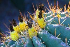 Potts Barrel Cactus, Ferocactus Pottsii, at the Desert Botanical Garden in Phoenix, Arizona by Kent Kobersteen