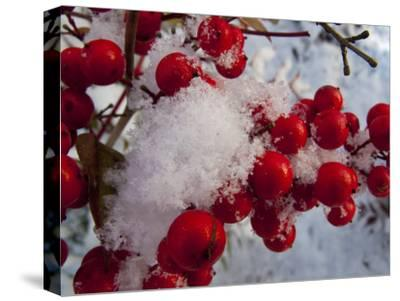Snow on the Berries of a Heavenly Bamboo, Nandina Domestica, Plant