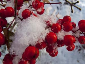 Snow on the Berries of a Heavenly Bamboo, Nandina Domestica, Plant by Kent Kobersteen