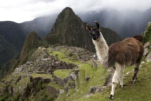 The Ruins At Machu Picchu and a Curious Llama by Kent Kobersteen