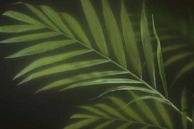 Kentia Palm Leaf-DLILLC-Photographic Print