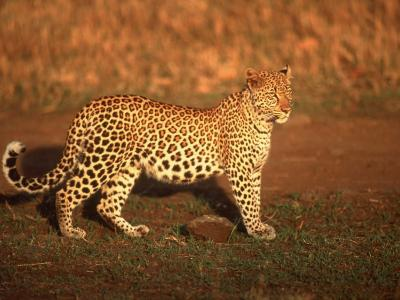 Kenya, Africa, Leopard, Panthera Pardus--Photographic Print