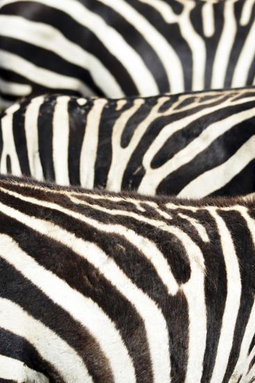 Kenya, Amboseli National Park, Close Up on Zebra Stripes-Anthony Asael-Photographic Print