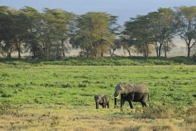 Kenya, Amboseli NP, Elephant Mother Playing with Dust with Calf-Anthony Asael-Photographic Print