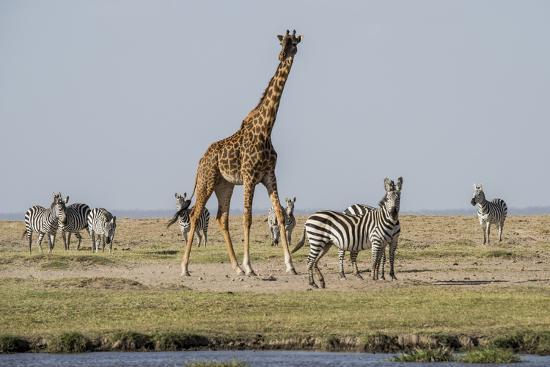 Kenya, Amboseli NP, Maasai Giraffe with Burchell's Zebra at Water Hole-Alison Jones-Photographic Print