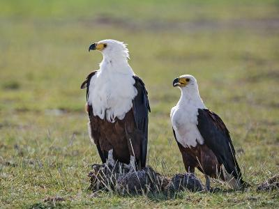 Kenya, Kajiado County, Amboseli National Park. a Pair of Fish Eagles.-Nigel Pavitt-Photographic Print
