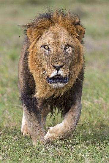 Kenya, Laikipia County, Laikipia. a Black-Maned Lion.-Nigel Pavitt-Photographic Print