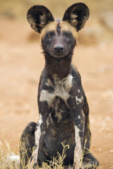 Kenya, Laikipia County, Laikipia. a Juvenile Wild Dog Showing its Blotchy Coat and Rounded Ears.-Nigel Pavitt-Photographic Print