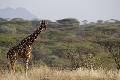Kenya, Laikipia, Il Ngwesi, Reticulated Giraffe in the Bush-Anthony Asael-Photographic Print