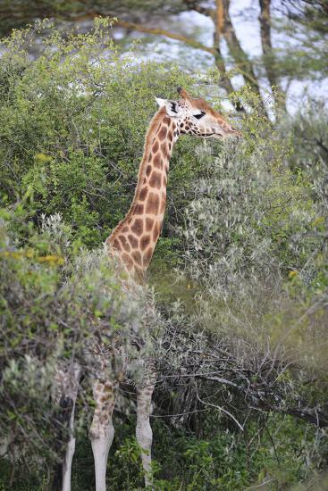 Kenya, Lake Nakuru National Park, Giraffe Eating from the Tree-Anthony Asael-Photographic Print