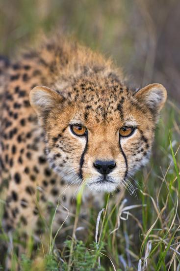 Kenya, Lewa Conservancy, Meru County. a Sub-Adult Cheetah Stalking its Prey in Lewa Conservancy.-Nigel Pavitt-Photographic Print