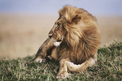 Kenya, Maasai Mara National Reserve, Lion Resting in Grass-Kent Foster-Photographic Print
