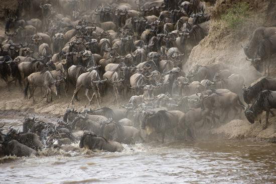 Kenya, Maasai Mara, Wildebeest Crossing the Mara River-Hollice Looney-Photographic Print