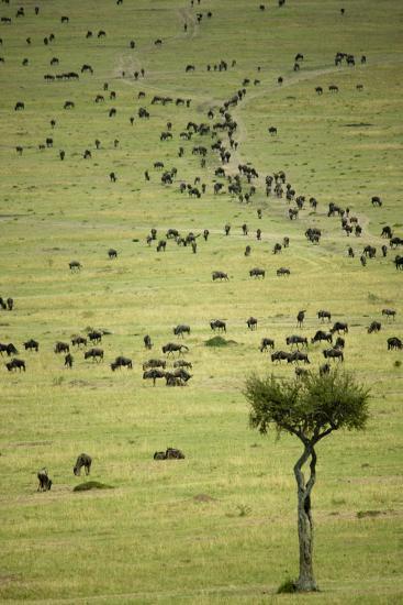 Kenya, Masai Mara, Thousands of Wildebeest Preparing of the Migration-Anthony Asael-Photographic Print