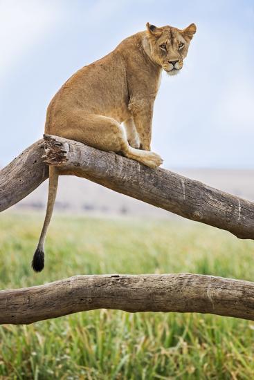 Kenya, Meru County, Lewa Wildlife Conservancy. a Lioness Sitting on the Branch of a Dead Tree.-Nigel Pavitt-Photographic Print