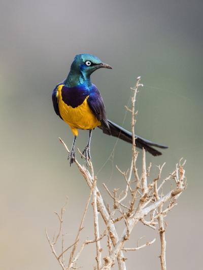 Kenya, Taita-Taveta County, Tsavo East National Park. a Golden-Breasted Starling-Nigel Pavitt-Photographic Print