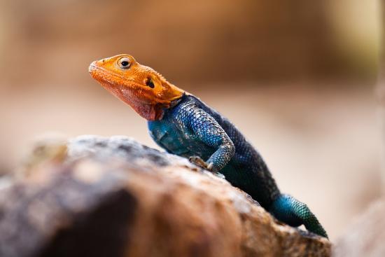Kenyan Rock Agama Lizard (Agama Lionotus), Kenya, East Africa, Africa-John Alexander-Photographic Print