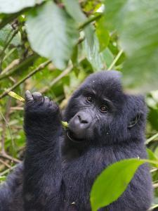 3-year-old Gorilla baby in the forest, Bwindi Impenetrable National Park, Uganda by Keren Su