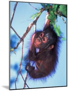 Baby Orangutan, Tanjung Putting National Park, Indonesia by Keren Su