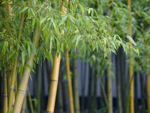 Bamboo in Traditional Chinese Garden, Suzhou Museum, Suzhou, Jiangsu, China by Keren Su